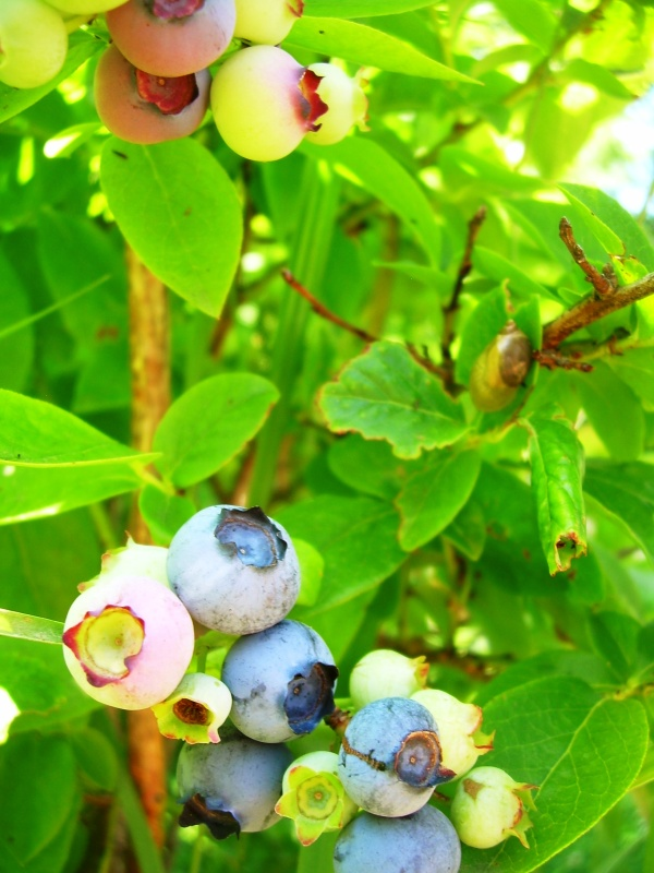 NS blueberries