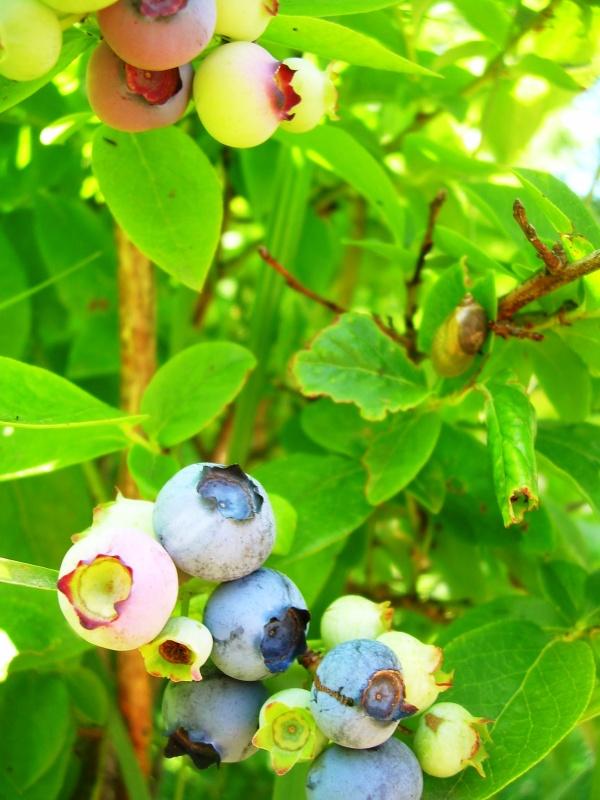 NS blueberries