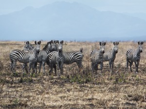 Zebras in Mikumi